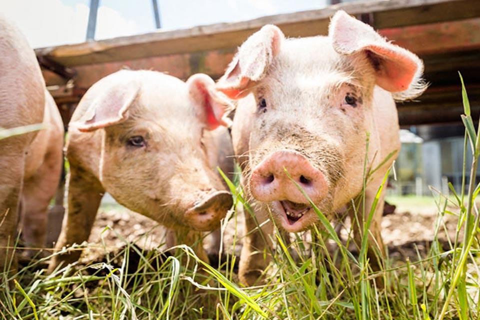 Kauf ein Schwein bei Faunt